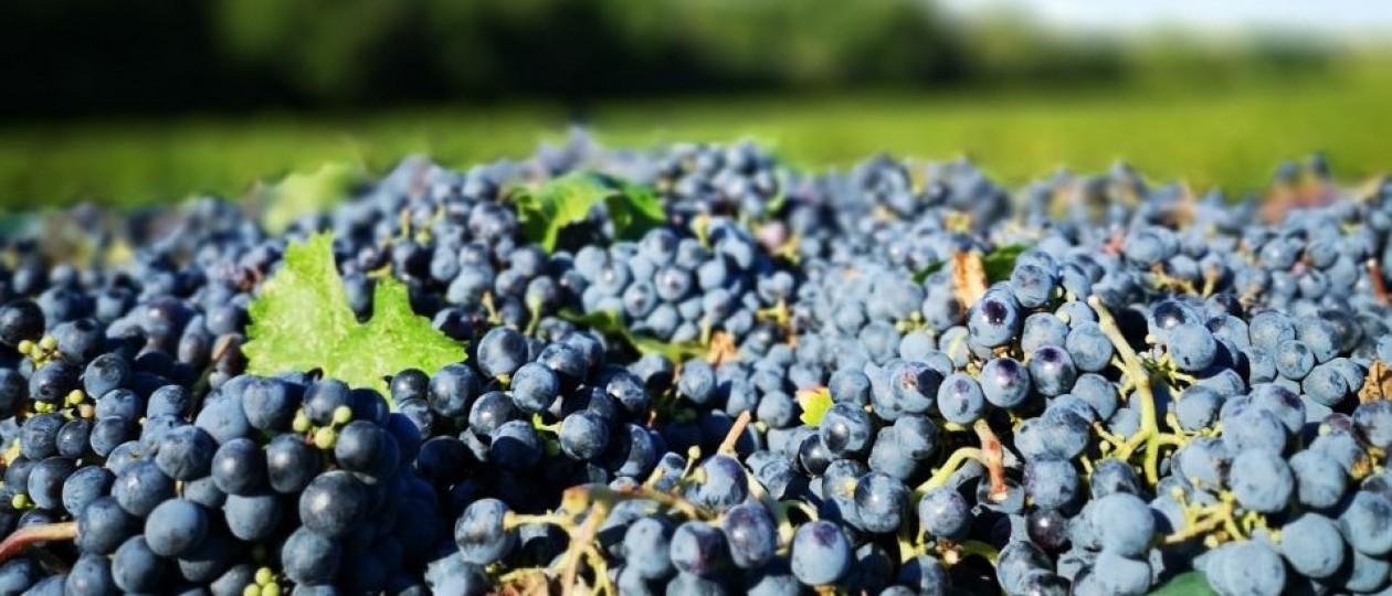 Vendemmia 2019: ottimi risultati per Podere Sapaio e per tutta la Toscana.